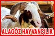 Alagöz Hayvancılık – Canlı Hayvan Alım Satım